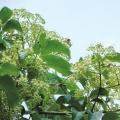 ビービーツリー(イヌゴシュユ)の苗
