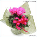 シクラメンの鉢植え(お祝い・ギフト・プレゼント用)を販売