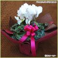 シクラメンの鉢植え(お祝い・贈答・プレゼント用)を販売