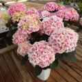 母の日ギフト アジサイ'センセーション'の鉢植え
