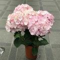 母の日ギフト アジサイ'マイヒメ チヅル'(ピンク)の鉢植え