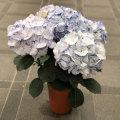 母の日ギフト アジサイ'マイヒメ チヅル'(ブルー)の鉢植え