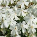 芝桜(シバザクラ・しばざくら)の苗【花育通販】グランドカバーの販売店