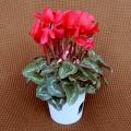季節の花鉢販売店【花育通販】シクラメン鉢植え4号(赤花)を販売しています。