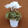 季節の花鉢販売店【花育通販】シクラメン鉢植え4号(白花)を販売しています。
