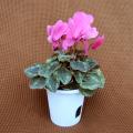 季節の花鉢販売店【花育通販】シクラメン鉢植え4号(ピンク花)を販売しています。