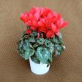 季節の花鉢販売店【花育通販】シクラメン鉢植え5号(赤花)を販売しています。