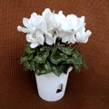 季節の花鉢販売店【花育通販】シクラメン鉢植え5号(白花)を販売しています。