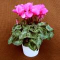 季節の花鉢販売店【花育通販】シクラメン鉢植え5号(ピンク花)を販売しています。