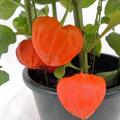 ホオズキの鉢物を販売【花育通販】花鉢の販売店