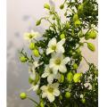 季節の花鉢の販売店【花育通販】常緑(フォステリー系)クレマチス/カートマニージョー5号鉢植え