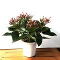 季節の花鉢の販売店【花育通販】ルクリア(ニオイザクラ)・COCO(ココ)