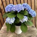紫陽花(アジサイ)ごきげんよう5号鉢植え