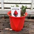チューリップの鉢植え おやゆび姫(ショーウィナー) 4号鉢植え