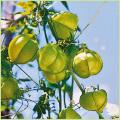 夏の花苗(一年草)風船(フウセン)カズラの苗の販売店