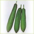 家庭菜園用野菜 ヘチマの苗を販売
