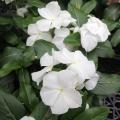 夏の花苗(1年草)「日々草(ニチニチソウ)の苗」を販売【花育通販】