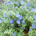 花苗の販売店【花育通販】アメリカンブルーの苗を販売