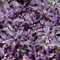 花苗(1年草)販売店【花育通販】トウガラシ・パープルフラッシュの苗を販売