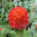 千日紅(センニチコウ)・ストロベリーフィールドの苗を販売【花育通販】