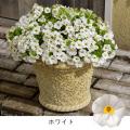 ミリオンベルの苗を販売【花育通販】花苗・宿根草の販売店