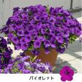 サフィニアの苗を販売【花育通販】花苗・宿根草の販売店