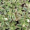 斑入りポーチュラカの苗を販売【花育通販】