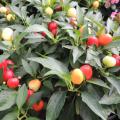 五色とうがらし(ゴシキトウガラシ)の苗を販売【花育通販】