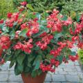 ベゴニア・ドラゴンウィングレッド の苗を販売【花育通販】