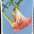 エンゼルトランペット(ピンク系)の苗