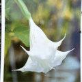 エンゼルトランペット(白花系)の苗
