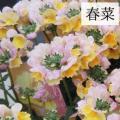 ネメシア・メーテル・春菜の苗