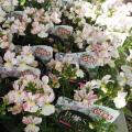 ネメシア・フェアリーマーブルピンクの苗