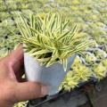 斑入り葉アルメリア'シャルムルビー'の苗
