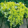 ローズマリー・ウィルマスゴールド【花育通販】ハーブ・香草苗の販売店