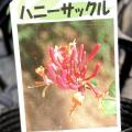 「ハニーサックル(ロニセラ/スイカズラ)」の苗