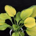 宿根草・花苗の販売店【花育通販】ギボウシ・ホスタの苗を販売
