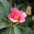 椿(つばき)の販売店【花育通販】胡蝶侘助の苗を販売