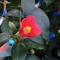 椿(つばき)の販売店【花育通販】出雲大社ヤブ椿の苗を販売