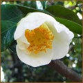椿(ツバキ)苗木の育て方