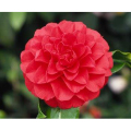 椿(つばき)の販売店【花育通販】さつま紅の苗を販売