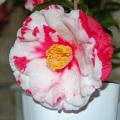 椿(つばき)の販売店【花育通販】岩根絞の苗を販売