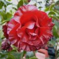 椿(つばき)の販売店【花育通販】ブラックマジックの苗を販売