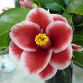 椿(つばき)の販売店【花育通販】タマピーコックの苗を販売