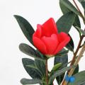 椿(ツバキ)の販売店【花育通販】アザレア椿を販売