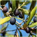 オリーブの苗木を販売