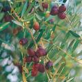 植木(庭木)・花木・果樹の販売店【花育通販】オリーブ・ネバディロブロンコの苗木を販売しています
