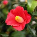 椿(つばき)の販売店【花育通販】赤寺の苗を販売