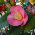 椿(つばき・ツバキ)苗木の販売店「花育通販」