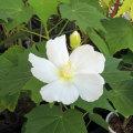 花木植木の販売店「花育通販」芙蓉(ふよう)白花の苗木を販売